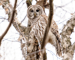 You Again! (jrlarson67) Tags: barred owl raptor tree birdofprey nikon d500 afsnikkor600mmf4gedvr wild wildlife nature