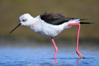 Háleggur - Black Winged Stilt - Himantopus himantopus