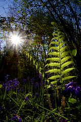 Fern (Lookingoodimages2017) Tags: fern flora nature forest woods flare sunlight bluebells grass wild trees sky green backlight