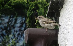 Leafing the nest ... (Feathering the Nest) Tags: sparrow nesting feathering leafing drainpipe house eaves female bird spring april 2017 home