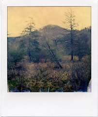 (babireley) Tags: roidweek2017spring polaroidsx70 impossiblecolor impossibleproject pottercounty pa pottercountypa trees pinetree spring pawilds