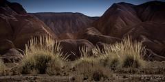 Camino a Catarpe (josemcalvol) Tags: atacama desert plant contaduría cola de zorro catarpe san pedro dorados golden cerros