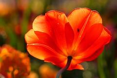 Tulpe [] Tulip (l3ooni) Tags: blume stadtgarten natur l3 l3ooni boni zoo tulpe tulip rot red bedecktsamer magnoliopsida monokotyledonen lilienartige liliales liliengewächse liliaceae lilioideae tulpen zoologischerstadtgartenkarlsruhe karlsruhe ka bokeh bokehlicious pflanze flower botanik flora plant blüte