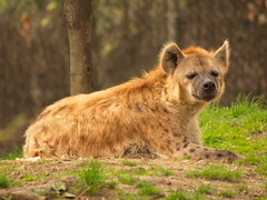 Hyena (dennisgg2002) Tags: bronx zoo new york city ny nyc