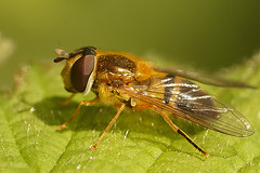 Epistrophe eligans (henk.wallays) Tags: aaaa arthropoda bandzweefvlieg bandzweefvliegen blomflugor diptera elegantbrynblomfluga enkelebandzweefvlieg enkelebandzwever epistrophe epistropheeligans henkwallays hoverfly insect nature syrphidae bandzwever bandzwevers closeup flies fly hooverfly hoverflies insecta insecte insekt macro mouche natuur tweevleugeligen vlieg wildlife zweefvlieg zweefvliegen