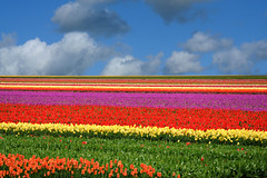 untitled (on the road to leiden - netherlands) (bloodybee) Tags: leiden netherlands europe tulip field flower stripes colors sky clouds landscape explore