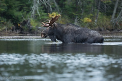 Moose Surprise (EXPLORE #4: APRIL 26, 2017) (jeffrey olarte) Tags: moose bullmoose bull algonquin park algonquinpark ontario canada camping kayaking