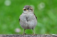 DSC_5247  Les premiers oisillons arrivent (sylvettet) Tags: bird oisillon sparrow 2017 bébé animal nature extérieur mineau chick