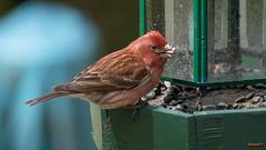 Roselin dans nos mangeoires, Beauce, Canada - 2989 (rivai56) Tags: oiseau roselinfamilieroupourpré roselin familier ou pourpré sonyphotographing
