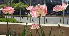 soft pastel colours in city (sandaodiatiu) Tags: tulips bicolor pink street