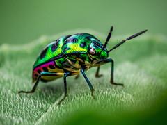 Metallic Shield Bug (Shahadat-Hossain) Tags: macro green nature closeup bug insect leaf tiny bangladesh skylark shahadat