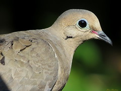 Dove (Explore) (Diane Marshman) Tags: summer brown white black bird nature closeup canon mourning pennsylvania dove wildlife tail gray feathers tan large powershot pa spots northeast sx50