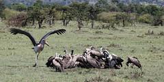 Food Fight (NYC Wild) Tags: africa food white nature animal animals mammal fight kenya wildlife mob safari mara vulture maasai stork marabou