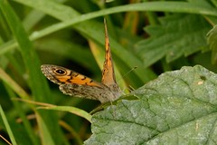 HNS_0082 Argusvlinder  (Lasiommata megera) 3e generatie