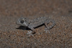 Tarentola chazaliae (markusOulehla) Tags: nikon morocco gecko marokko herps 2014 gekkonidae tarfaya nikonnature tarentolachazaliae oulehla gecodecasco helmetheadgecko markusoulehla moroccanherping moroccanherpetofauna moroccananimals