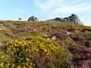 P1010331 (jrcollman) Tags: people plants places devon dartmoor haytor callunavulgaris ulexgallii eplant ericacinerea cplant haytortohoundtor