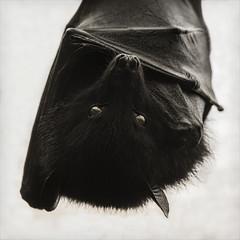 i'm batman! (Black Cat Photos) Tags: blackcatphotos