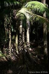 Rainforest zebra (Tatters ) Tags: trees light shadow forest palms australia palm qld queensland mountmee daguilarrangenationalpark