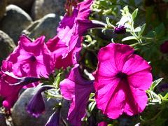 Petunia Power (arrowlakelass) Tags: flower patio pot petunias p1270853