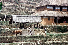 23-383 (ndpa / s. lundeen, archivist) Tags: nepal people woman house color building men film animal rural 35mm farmers farm nick hill terraces ox kathmandu 23 farmer nepalese plow thatchedroof 1970s hillside plowing dewolf kathmanduvalley terraced rurallife thatchroof terracefarming nickdewolf photographbynickdewolf reel23 terracedhillside terracedfarmland hillyregion