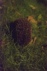 HI_ISO_Igel (http://lennartploetz.com/) Tags: light grass animal low natur style iso gras hedgehog tier watermark igel wildlive wasserzeichen d7100