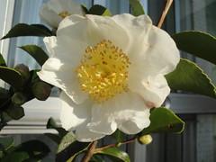 """Camelia sasanqua """"Baronesa de Soutelinho"""" (1). (lumog37) Tags: flowers flores camelias camellias"""
