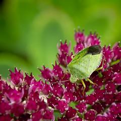 Green shieldbug (Trevor King 66) Tags: flower green nature garden insect nikon wildlife derbyshire kitlens sedum creepycrawlies shieldbug gardenplant greenshieldbug colkin d3100 colkincloseupfilter
