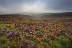 Moorland Colour 04 (Photograferry) Tags: morning mist colour fog landscape heather empty vegetation ferns moor exmoor