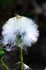 Plant's puffball ready to fly away! (gdajewski) Tags: plant macro closeup flying backyard seeds puffball tokina100mmf28atxprod
