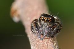 20140928-14 (Taiwan-Awei) Tags: awei taiwanawei spider macro 蜘蛛 林敬偉 微距