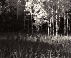 Decay, Then Fall (the real Kam75) Tags: autumn light bw ontario cold field pines aspens grasses rays spruce decaying topaz