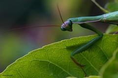 Colourful Mantis (Windows FOR the Soul - Photos) Tags: prayingmantis naturephotography macrophotography nikond600 nikonmicro105mmf28 marcopimpão