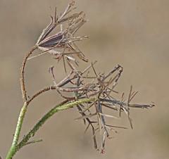 CAC009052a (jerryoldenettel) Tags: ca flower needle wildflower asteraceae 2014 palafox mojavenationalpreserve asterales palafoxia spanishneedle asterids kelbakerroad palafoxiaarida desertpalafox sanbernadinoco