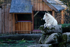 Loup blanc dAlaska (Parc Animalier de Sainte-Croix) (Drics67) Tags: france loup lorraine rhodes mammifre saintecroix canislupus loupblanc parcanimalier canids alaskantundrawolf canislupustundrarum loupblancdalaska