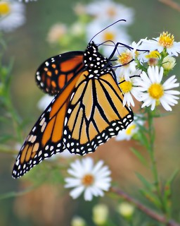 Monarch in the fall----