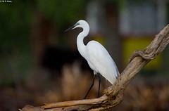 DSC_7879 (mnreddy9) Tags: kenya littleegret africanbirds lakebaringo
