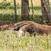 O tamanduá-bandeira