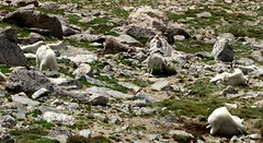 Mt. Evans #49 (jimsawthat) Tags: mountains rural colorado wildlife herd mountaingoats mtevans mtevansroad
