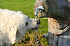 Durstig! (balu51) Tags: morning autumn dog water wasser brunnen herbst drinking september hund waterdrops trinken morgen thirsty kuvasz morningsun morgensonne 2014 morgenspaziergang durstig copyrightbybalu51
