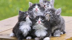 Cute Little Cats HD Wallpaper - Stylish HD Wallpapers (StylishHDwallpapers) Tags: pets cute animals kittens cutecats beautifulcats littlecats mobilecats catswallpapers