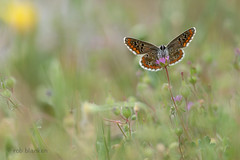 Aricia cramera (Southern Brown Argus, Moors bruin blauwtje) (Rob Blanken) Tags: blue macro butterfly andalusia ariciacramera nikond800 southernbrownargus sigma180mm128apomacrodghsm moorsbruinblauwtje