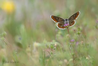 Aricia cramera (Southern Brown Argus, Moors bruin blauwtje)