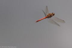 Sympetrum vulgatum (Ken_Binobi) Tags: red male animal insect deutschland dragonfly rheinlandpfalz libellulidae anisoptera sympetrum sympetrumvulgatum wiltingen
