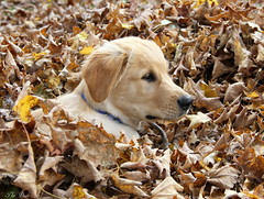 Where's The Dude? (Explore) (Diane Marshman) Tags: dog brown white fall nature leaves puppy season fur golden three maple pennsylvania young tan retriever dude explore pa months pup northeast laying the