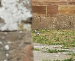 Un pjaro (Rubn Daz Caviedes) Tags: espaa bird spain aves whitecat cantabria pjaro cartes gatoblanco whitewagtail yermo lavanderablanca motacillaalbaalba