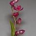 Symphyglossum sanguineum – Merle Robboy