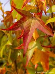 Autumn leaves (BiancaValkenierPhotoArt) Tags: autumn tree leaves garden season colorful boom colored tuin herfstkleuren indiansummer liquidambar herfstbladeren amberboom