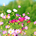 Cosmos (Mexican Aster) / コスモス