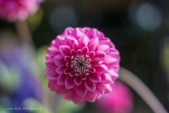 Dahlia (Marika II) Tags: pink dahlia autumn flower pinkdahlia