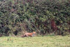 Topsham Fox (Dartmoor Mike) Tags: wild green mammal devon exeter fox bowling marsh exe topsham rspb